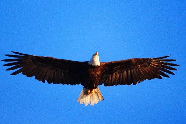 bald eagle-bird-photography-white rock-surrey-photographer-photograph-photo-wings-bald-canada-britsh columbia-nature-wildlife-feathers-sky-blue-