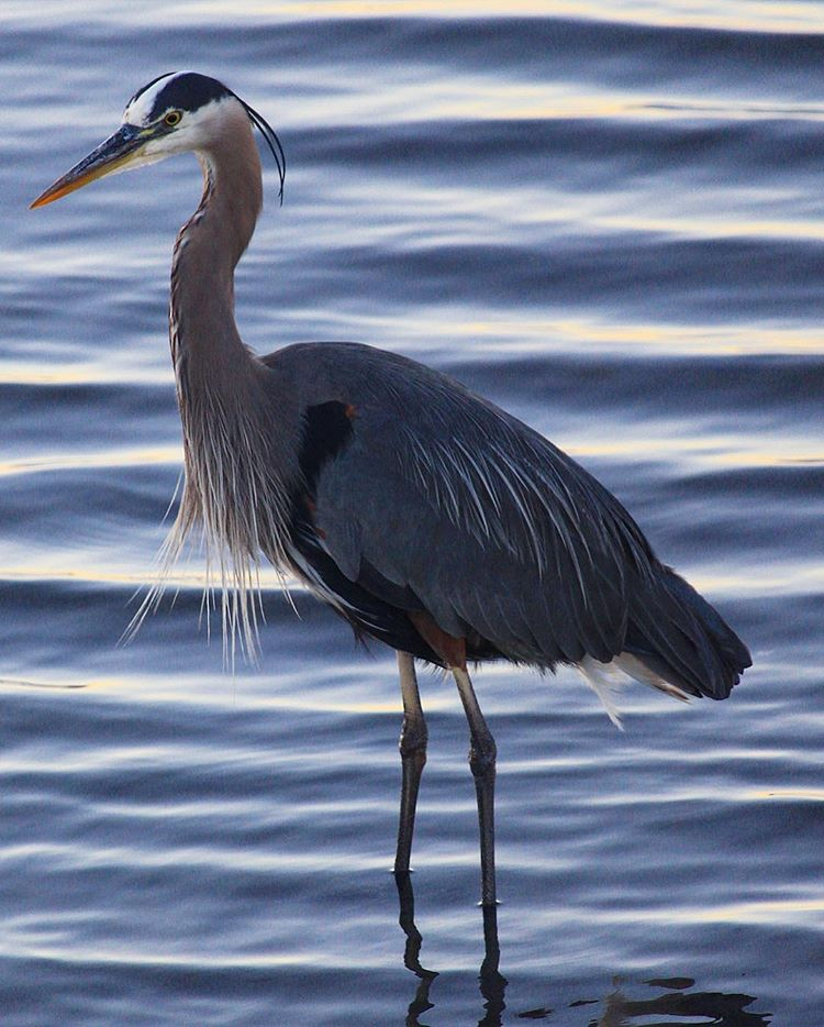 blue heron-white rock-south surrey-canada-beach-photography-